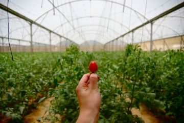 cherry tomato held up inside a glasshouse