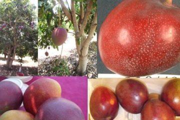 agam mangoes