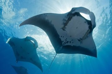 big stingrays silhoutted by the sun, photographed from below