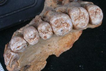 the fossilised teeth up close. looks like toes